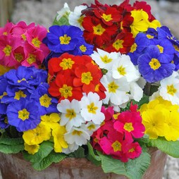 Polyanthus 'Most Scented Mixed' (Garden Ready)