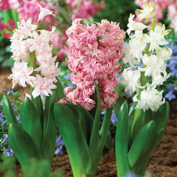 Hyacinth 'Crystal Doubles Mixed'