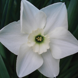 Narcissus 'Green Eyed Lady'