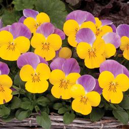 Viola Sorbet 'XP Yellow Pink Wing'