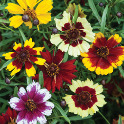 Coreopsis x hybrida 'Incredible Dwarf Mix'