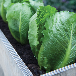 Lettuce 'Sweet Success' (Iceberg/Romaine)