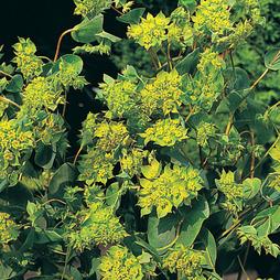 Bupleurum rotundifolium 'Green Gold'
