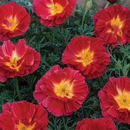 Californian Poppy 'Cherry Swirl'