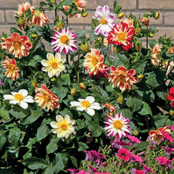 Dahlia variabilis 'Dandy Improved Mixed'
