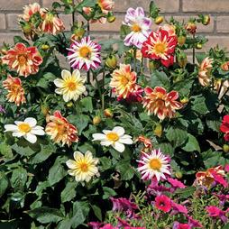 Dahlia variabilis 'Dandy Improved Mixed'