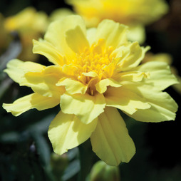 Marigold 'Alumia Vanilla Cream'
