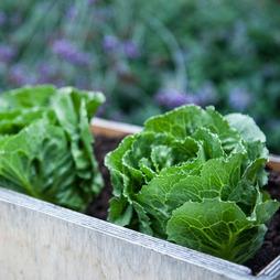 Lettuce 'Elyburg' (Iceberg/Cos)