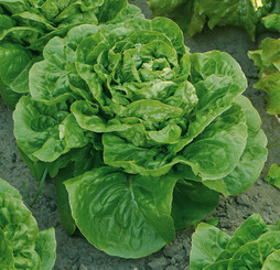 Lettuce 'Maureen' (Cos)