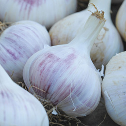 Garlic 'Red Duke' (Autumn Planting)