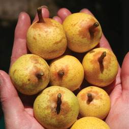 Pear 'Petit Poire'