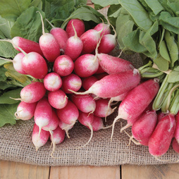 Radish 'French Breakfast 4 - Francis'
