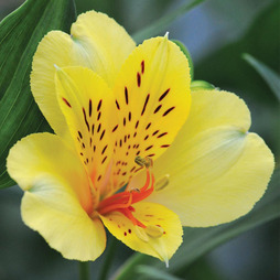 Alstroemeria 'Everest Canary Yellow'