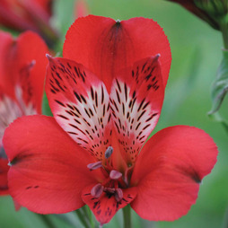 Alstroemeria 'Everest Pink Punch'