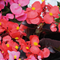 Begonia semperflorens 'Organdy Red' F1 Hybrid