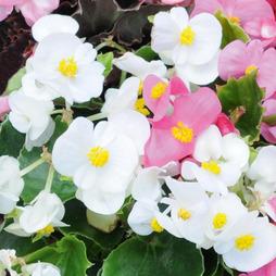 Begonia semperflorens 'Organdy White' F1 Hybrid
