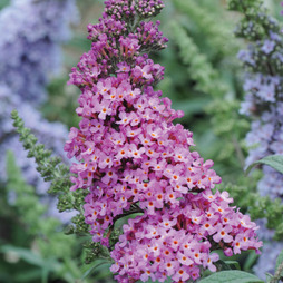 Buddleja 'Buzz® Candy Pink'