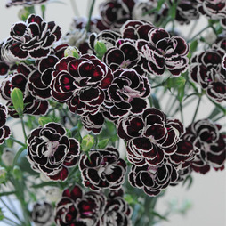 Dianthus 'Blackjack'