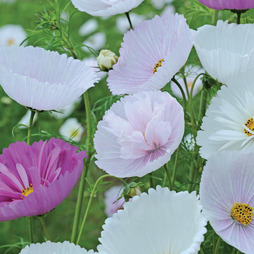 Cosmos bipinnatus 'Cupcakes and Saucers Mix' (Garden Ready)
