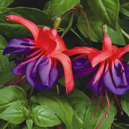 Fuchsia 'Giants Voodoo'