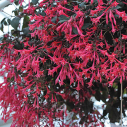 Fuchsia 'Eruption'
