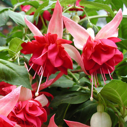 Fuchsia 'Giants Seventh Heaven'