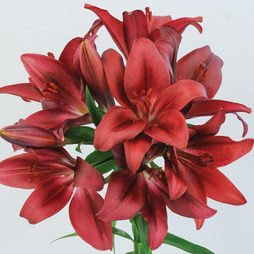 Lily 'T&M Bouquet Red'