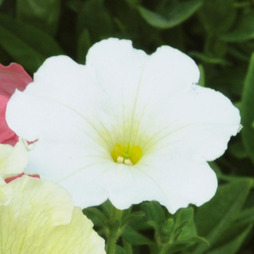 Petunia 'Frenzy White' F1 Hybrid