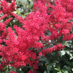 Astilbe japonica 'Montgomery'