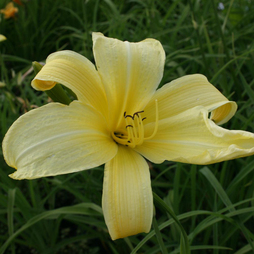 Hemerocallis 'Atlas'
