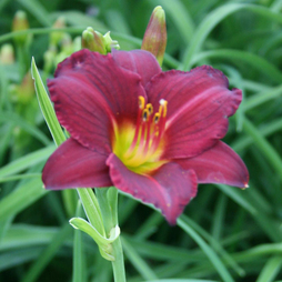 Hemerocallis 'Stella in Red'