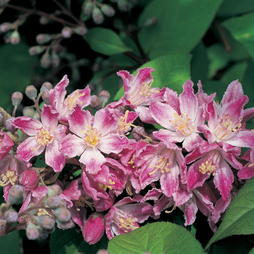Deutzia x hybrida 'Strawberry Fields'
