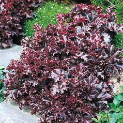 Heuchera 'Melting Fire'