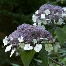 Hydrangea aspera 'Macrophylla'