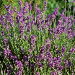 Lavender 'Munstead'