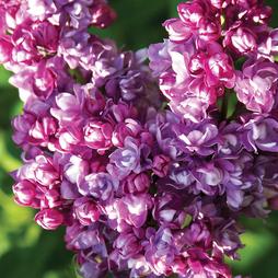 Lilac 'Katherine Havemeyer'