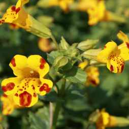 Mimulus x cultorum 'Major Bees'