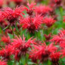Monarda didyma 'Cranberry Lace'
