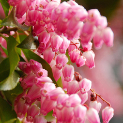 Pieris japonica 'Passion'