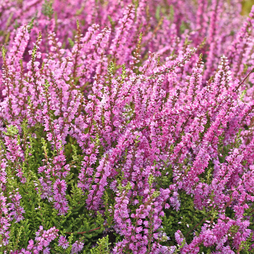 Heather x darleyensis