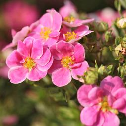 Potentilla fruticosa 'Pink Paradise'