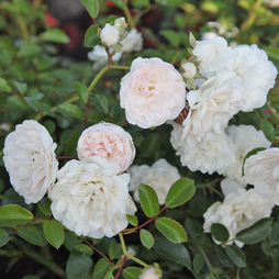 Rose 'Sea Foam' (Shrub Rose)