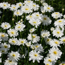 Shasta Daisy 'Fair Lady'