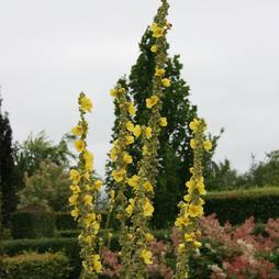 Verbascum olympicum