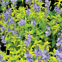 Veronica prostrata 'Aztec Gold' (Large Plant)
