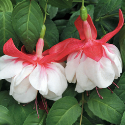 Fuchsia 'Giants Snowburner'