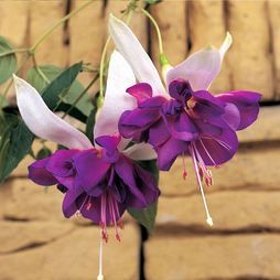 Fuchsia 'Giants Deep Purple'