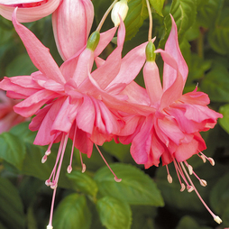 Fuchsia 'Giants Marcus Graham'