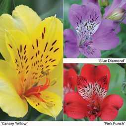 Alstroemeria 'Everest Collection'