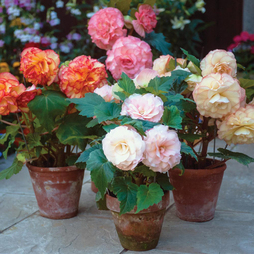 Begonia x tuberhybrida 'Giant Picotee Mixed'